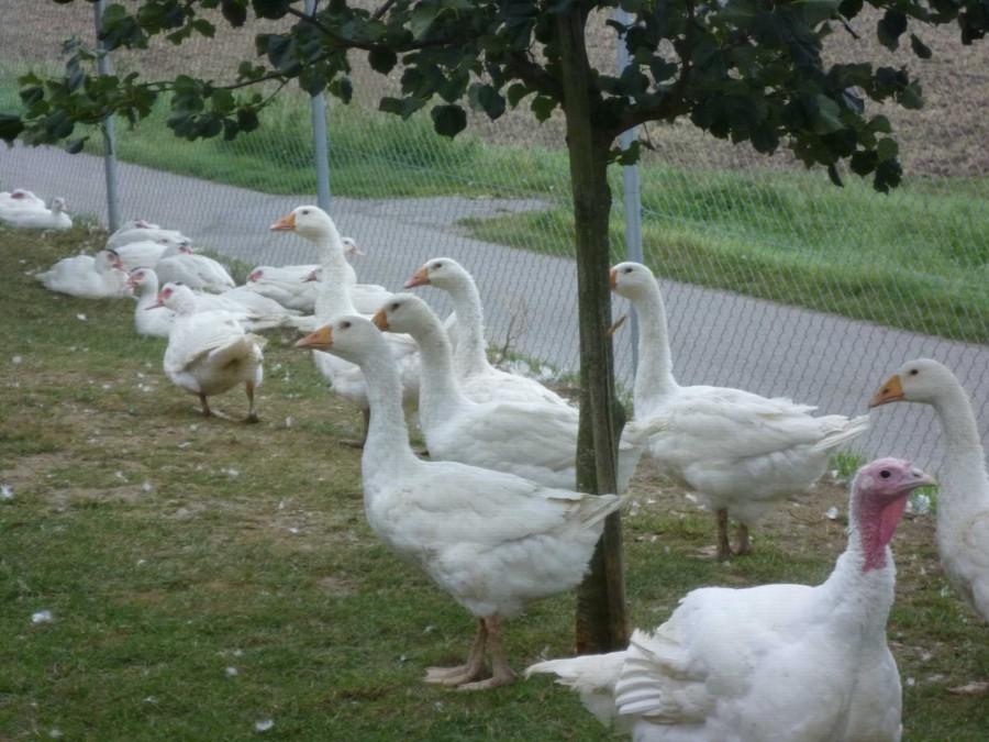 Gänse und Enten vom Geflügelhof Maier in Remmingsheim